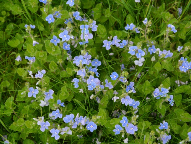 Speedwell in the grounds of Kirkham Priory