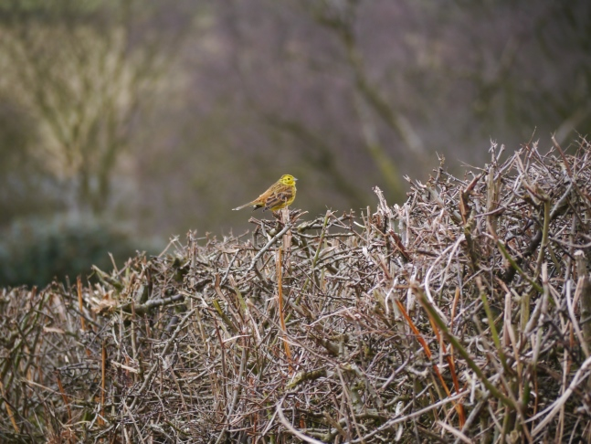 One of a pair of yellowhammers we saw on the way towards Scackleton Low Moor