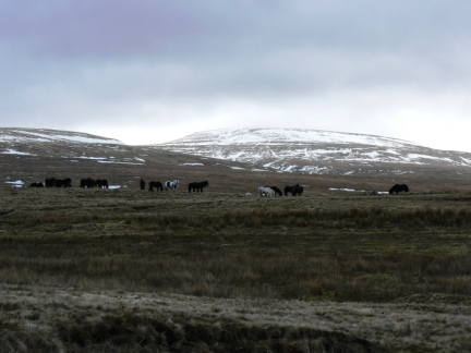 A group of fell ponies on Murthwaite Rigg