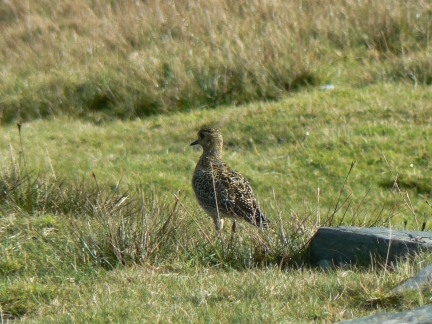A golden plover on Snaefell