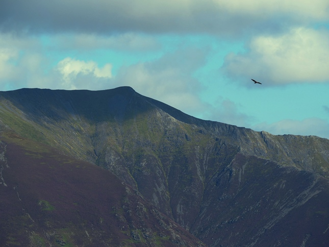 A close up of Blencathra's Halls Fell Ridge with a large bird of prey overhead