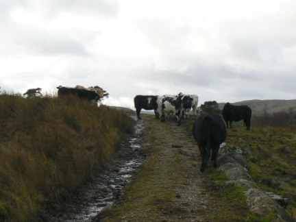 I was very brave to walk past these cows!