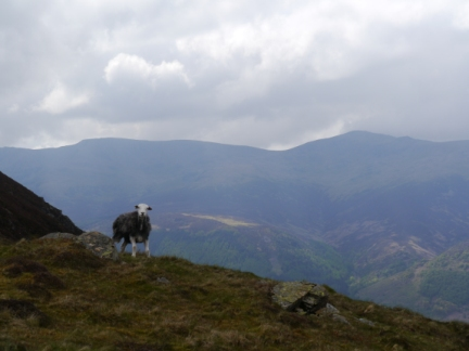 A Herdwick with Haycock in the background
