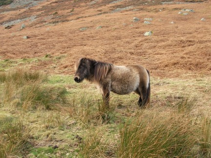 A wild pony in Mosedale