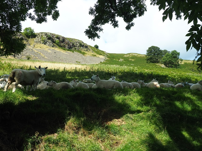 A flock of sheep enjoying the shade