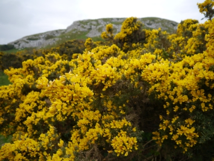 Plentiful gorse added colour to a grey afternoon