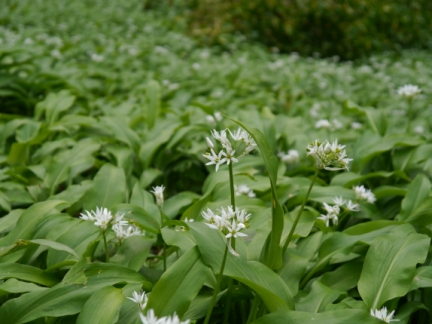 Wild garlic was in abundance on the woodland floor