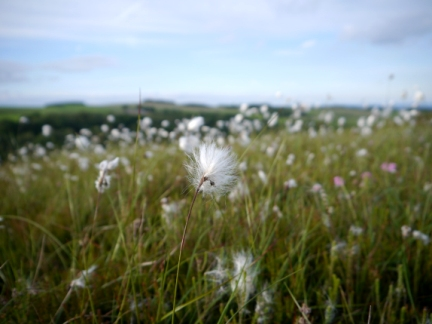 Cotton grass on Eavestone Moor