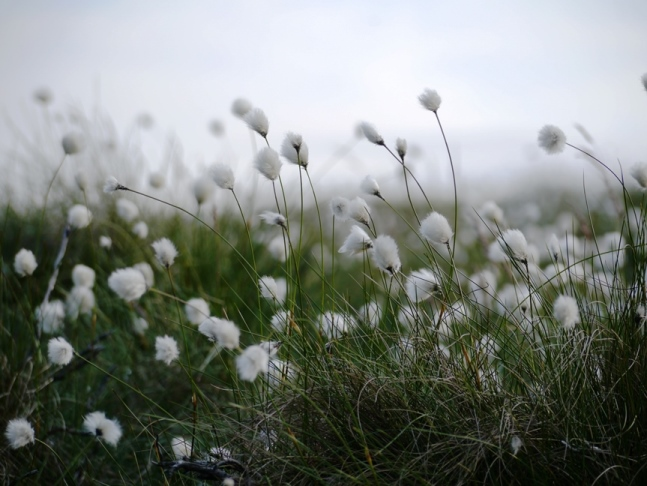 There was plenty of cotton grass on Rocking Moor