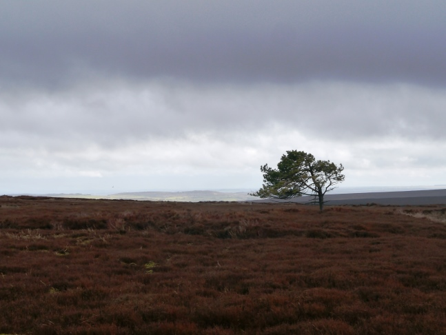 A random tree in a sea of heather on Kettlestang Hill