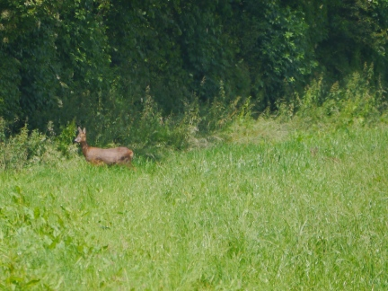 A roe deer - try and spot the faun