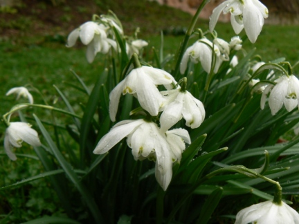 A close up of some of the many snowdrops we saw