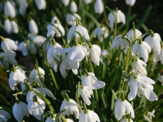 Snowdrops by the River Burn