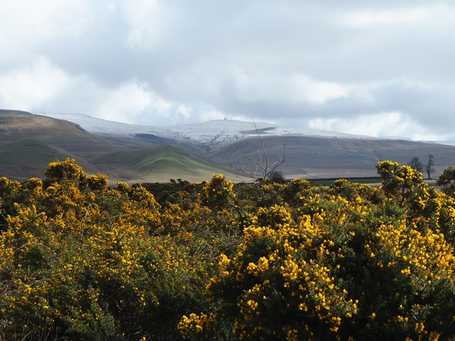 Looking towards Great Dun Fell from the gorse on The Rigg