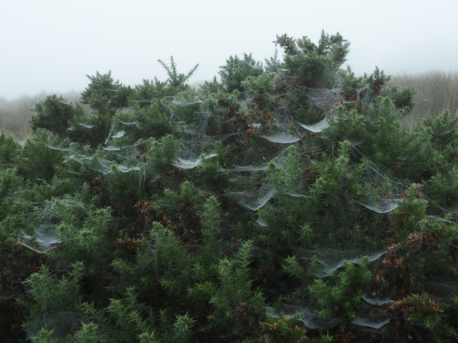 The gorse was popular with the local spiders