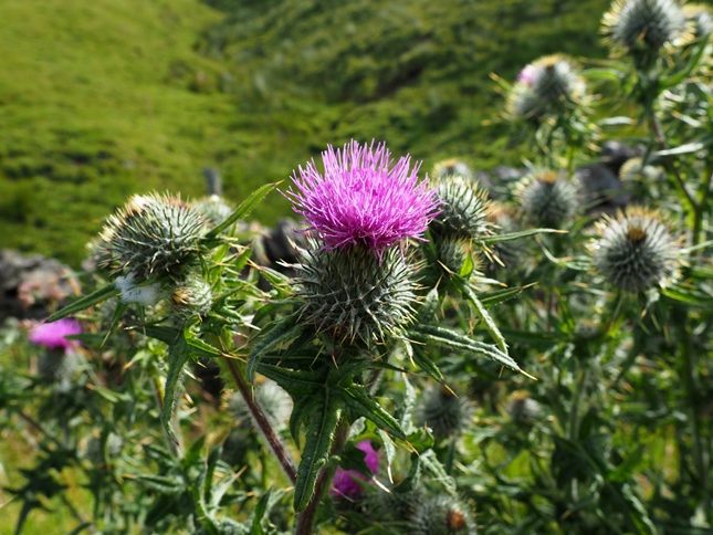One feature of the walk was the many thistles that we saw