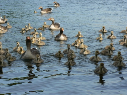 A flotilla of geese and goslings