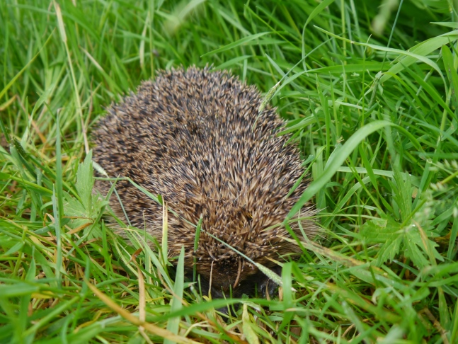 The hedgehog I saw shortly after leaving Chop Gate
