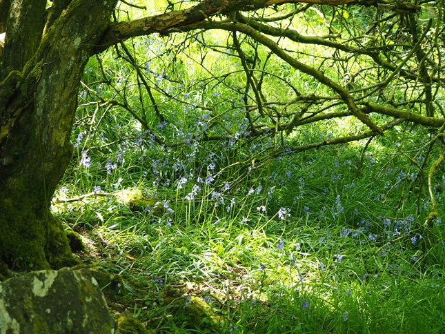 I was surprised to come across a few late patches of bluebells in the woods of Bretton Clough