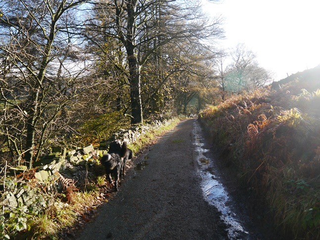 Walking down the lane from Bank Top with the Bernese mountainn dogs of the left