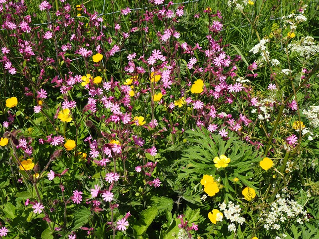 Buttercups and red campion was in plentiful supply on the riverbank