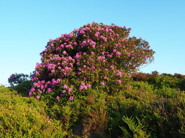 One of a number of clumps of rhododendrons to be found on Stanton Moor
