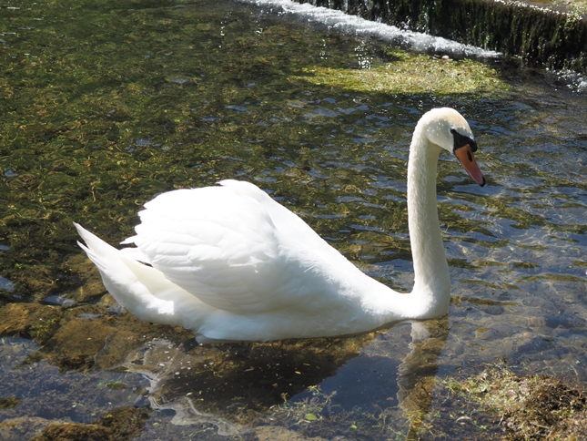 A swan on the River Lathkill
