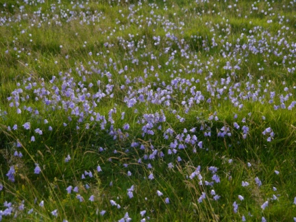 Harebell growing on the slopes of Little Hill