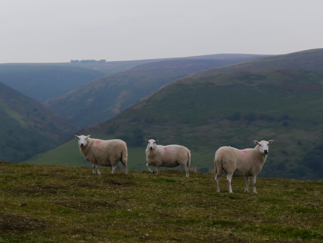 Some sheep on Ragleth Hill with the Long Mynd in the background