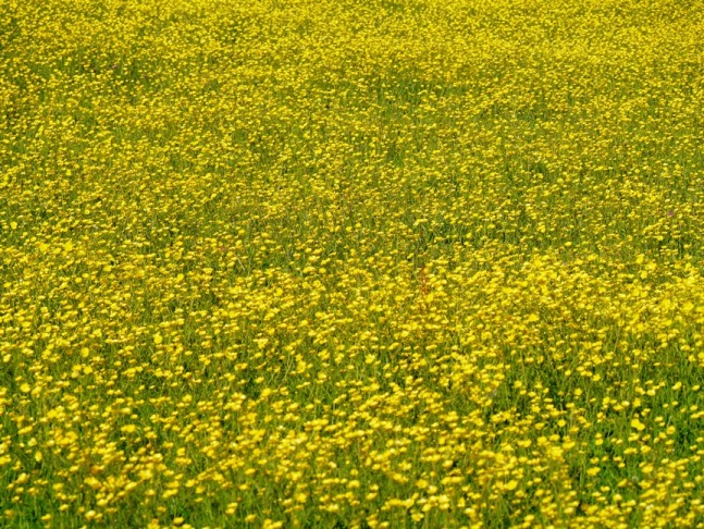 The fields below the woods were covered in buttercups