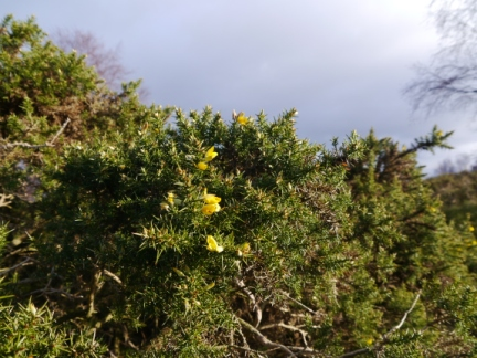 Some of the flowering gorse we saw