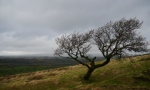 Lonely moorland tree