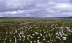 Cotton grass on Turton Heights