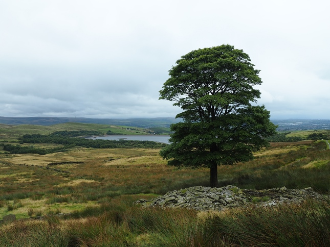 The solitary tree above the ruin of Grey Pasture